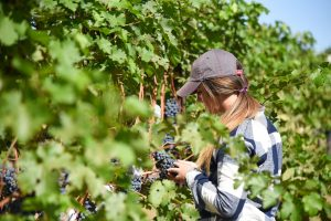 Bernadette Gagnier works in the teaching vineyard at WSU Tri-Cities