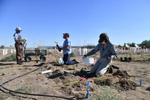 Students with Tanya Cheeke's research team plant wine grape plants at the WSU Tri-Cities Albert Ravenholt Research and Teaching Vineyard