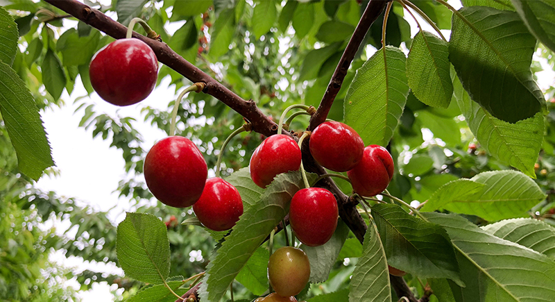 Cherries not impacted by frost damage