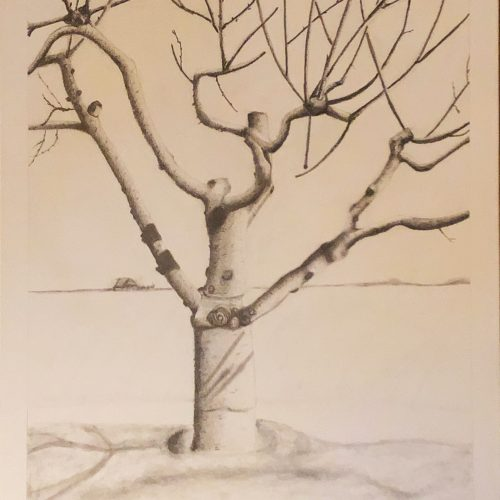 graphite drawing of a Cherrytree