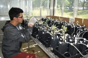 Student Jaier Chavez Lara works in the greenhouse at WSU Tri-Cities as part of his Chancellor's Summer Scholars experience.