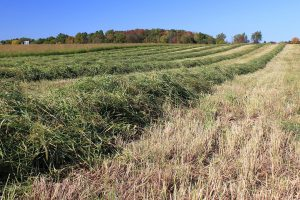 Cut switchgrass placed in windrows for drying prior to baling at